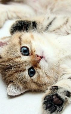 Simple Tips To Help You With Cat Care. When cats aren't sleeping, they have to do something to pass the time. If left unchecked, cats tend to climb on furniture and scratch your belongings. Cute Kittens, Ragdoll Kittens, Tabby Cats, Bengal Cats, Kitty Cats, Animals And Pets, Cute Animals, Cats Outside, Gato Anime