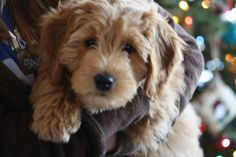 goldendoodle minis - Google Search