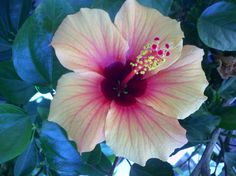Yellow Hibiscus with Red Center!  My favorite plant....