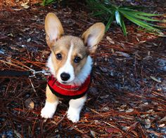 Every time I see a pic of a perfect little corgi, I get tears in my eyes.  I miss my LG so very very much!