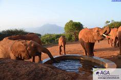 Seit 1992 unterstützt die AGA die Arbeit des DSWT in Kenia, denn dieser ist dringend auf Hilfe angewiesen. Die AGA vergibt Teilpatenschaften für die Elefantenwaisen (www.aga-artenschutz.de/elefantenpatenschaft.html) und unterstützt Anti-Wilderer-Aktionen, wie beispielsweise die Ausbildung von Wildhütern. www.aga-artenschutz.de/wilderei.html Nairobi, Aga, Html, Elephant, Animals, Kenya, Wildlife Conservation, Elephants, National Forest
