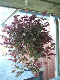 My ultimate favorite plant...the Wandering Jew houseplant - purple/silver leaves - Love these plants!!