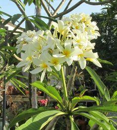 Plumeria forum: Plumeria of the Day: Plumeria (Plumeria rubra 'Venezuelan Snowball') (All Things Plants)