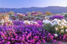 Flwers brighten the desert on Feb 15, 1999. Spectacular 'Super Bloom' Is Just Days Away In This California Desert