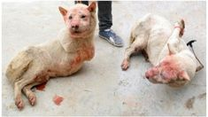 The Yulin festival sees thousands of dogs skinned alive and cooked for their meat in an event that takes place in southern China on...