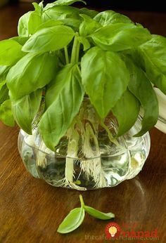 to Propagate Basil – For Pennies! How to Propagate Basil - So d one of the best tricks ever!How to Propagate Basil - So d one of the best tricks ever! Organic Gardening, Gardening Tips, Organic Farming, Vegetable Gardening, Growing Herbs, Basil Growing, Growing Vegetables, Fresh Vegetables, Fresh Herbs