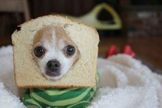 When this dog succumbed to the bread. | The 61 Most Awkward Moments In The History Of Dogs