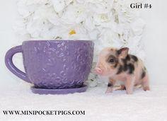 Mini & Micro Juliana Baby Pigs For Sale - Mini Pocket Pigs : Mini Pocket Pigs Baby Pigs For Sale, Cute Baby Pigs, Cute Babies, Micro Piglets, Baby Piglets, Pocket Pig, Otters Cute, Indoor Pets, Pet Pigs