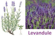 Levandule lékařská a úzkolistá (latinsky lavandula angustifolia). Ze Středomoří k nám dovezené byliny mají jistý nádech zvláštnosti již proto, že u násve volné přírodě nerostou. Patří mezi ně i levandule lékařská, která tuto odlišnost ještězdůrazňuje svým tvarem s neobvykle vysokým květním stonkem.... Herb Garden, Detox, Herbs, Gardening, Health, Plants, Fitness, Syrup, Health Care