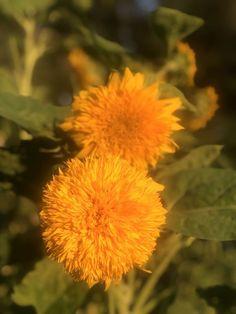 Giant Teddy Bear Sunflower Seeds for sale online Giant Sunflower Seeds, Glass Gem Corn, Giant Teddy Bear, Seeds For Sale, Plant Therapy, Giant Flowers, Hardy Perennials, Hollyhock, Garden Seeds