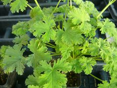 French Vanilla Scented Geranium live herb by colonialcreekfarm, $5.90