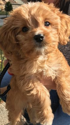 Welcome to Cavapoos R Us, where we specialize in gorgeous, Champion Bloodline Cavapoo puppies! Cute Little Puppies, Cute Puppies, Cute Dogs, Cavapoo Puppies For Sale, Kittens And Puppies, Maltipoo Dog, Havanese, Labradoodle, Cute Funny Animals