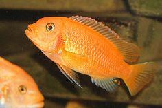 Orange Cichlid | African Cichlids Species