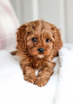 Super Cute Puppies, Baby Animals Super Cute, Cute Baby Dogs, Cute Little Puppies, Cute Dogs And Puppies, Cute Little Animals, Doggies, Brown Puppies, Cute Small Dogs