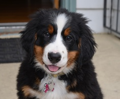 Charlie the Bernese Mountain Dog at Gramma's house. #BMD #Berner