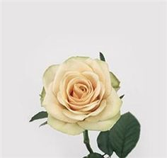 Mayesh Wholesale Florists - Search our Flower Library- Camel