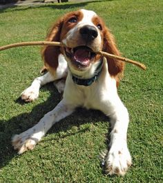The Daily Puppy Bodie the Welsh Springer Spaniel