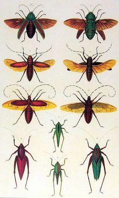 Beetles, Grasshoppers, Katydids Seba Book Print Cabinet of Natural Curiosities p399