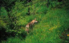 Animali protagonisti - Ecoturismo Online  http://www.ecoturismonline.it/ecoturismo/eco-itinerari/eco-itinerario-avvistamento-animali-selvatici-abruzzo.html