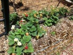 'Straw' berries growing in straw bales