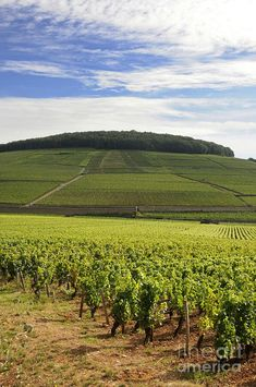 Photograph - Grand Cru And Premier Cru Vineyards Of Aloxe Corton. by Bernard Jaubert , Burgundy France, Wine Vineyards, Paris France, France Europe, Largest Countries, Boat Tours, Pinot Noir, Places To Go, Around The Worlds