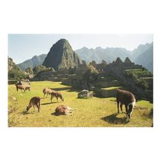 Customizable #Ancient#Civilization #Andes #Animal#Behavior #Animals#In#The#Wild #Archaeology #Architecture #Built#Structure #Color#Image #Day #Extreme#Terrain #Famous#Place #Grass #Grazing #Green #Herd #History #Horizontal #Idyllic #Inca #International#Landmark #Land#Feature #Landscape #Livestock #Llama #Machu#Picchu #Majestic #Medium#Group#Of#Animals #Mountain #Mt#Huayna#Picchu #Nature #No#People #Old#Ruin #Outdoors #Peru #Photography #Physical#Geography #Rural#Scene #Scenics #South#America…