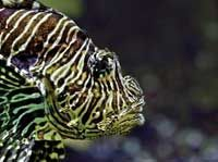 """Lionfish: """"An Invasion of Unparalleled Speed and Magnitude"""""""