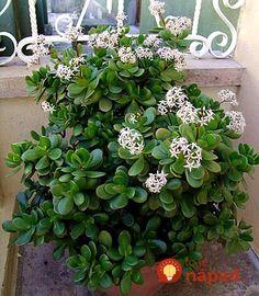 Táto rastlina je užitočnejšia, ako si myslíte. Takto jednoducho si ju môžete rozmnožiť!