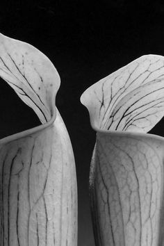 Robert Mapplethorpe - Double Jack in the Pulpit, 1988 (detalhe)