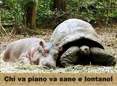 """Tenerissima e stravagante questa """"simbiosi"""" tra un ippopotamo di un anno e una tartaruga centenaria!"""