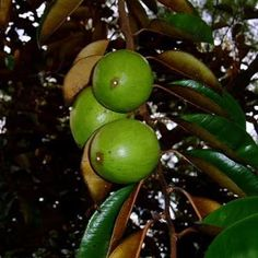 Philippines exotic fruit: CAIMITO - this is sweet fruit!
