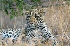 big five animals south africa - Google Search