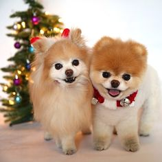 Pomeranian Merry Happy Christmas Day Card Puppy Holiday Dogs Santa Claus Dog Puppies Xmas #MerryChristmas