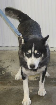 Kia is an #adoptable young Siberian Husky at the Beadle County Humane Society in #Huron, #SDakota --- picked up stray & is ready for a new home. She appears to be around 6-8mos. She's playful & loves to go for walks. She loves everyone she meets & is very active.