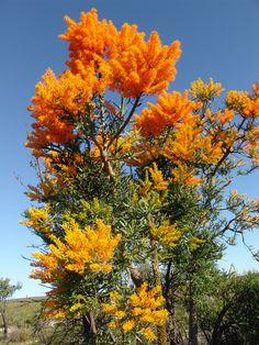 Christmas tree -  Australie occidentale