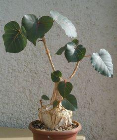 Ficus petiolaris Succulent Tree, Desert Plants, Fig Tree, Ficus, Bonsai, House Plants, Planting Flowers, Flora, Succulents