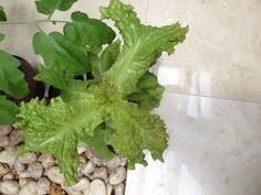30/04/15 Las lechugas siguen creciendo, tienen una forma padre y las hojas están limpias, sanas y grandes.