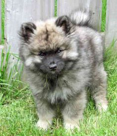 keeshond puppies - I will have one again someday. RIP my bailey girl