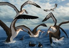Art illustration - Prehistoric Birds - Pelagornis: is a genus of extinct seabird composed of 4 species. He remained living species from the upper Oligocene and early Pleistocene, ie from 25 to 2.5 million years ago.