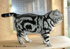 Silver Tabby british shorthair