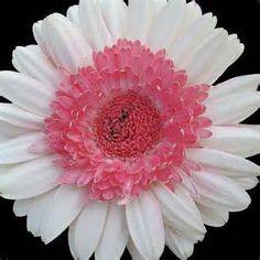 White Gerber Daisy - Bing Images