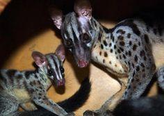 rare civet