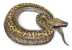 Batik Blood Python Morph