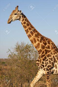 Αποτέλεσμα εικόνας για giraffe