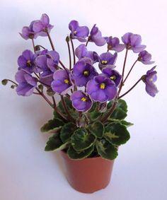 Cupie Doll - Egenites - мини. Простые чашевидные цветы окрашены переливами сиреневого и лилового с тонкой зелено-белой каймой