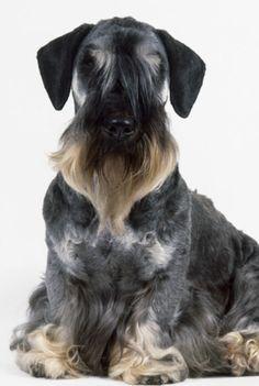 Cesky #Terrier / Czech / Ceský Teriér / Bohemian Terrier #Dogs #Puppy