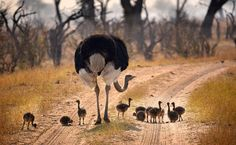 A mother and her baby ostriches. Photo by Barbara Arstall Blue Dot ( Animal Pictures, Cool Pictures, Baby Ostrich, Kinds Of Birds, Mundo Animal, Cat Quotes, Amazing Nature, Beautiful Birds, Beautiful Creatures