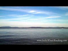 Humpback Whale and Killer Whale Breaches - Sooke Coastal Explorations - YouTube