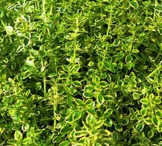 Variegated Lemon Thyme http://www.mysticallandscapes.com/ and http://www.maringardener.org/
