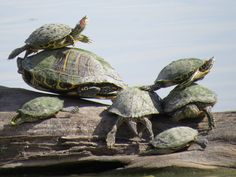 """These turtles seem to be having some issues with parking at Estero Llano Grande State Park in Weslaco, Park Host Dave Elder's photo: """"Turtles experience parking problem in Ibis Pond."""" Estero Llano Grande State Park Park Host Dave Elder's photo: """"Turtles experience parking problem in Ibis Pond."""""""